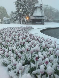 Pella, Iowa May 2013 Blooming Tulips under new snow (other plans for the Tulip Festival)