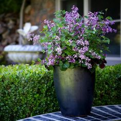 Isn't the Bloomerang Purple Lilac gorgeous?! Not to mention the fact that it smells amazing and repeat blooms throughout the whole season!  @provenwinners #spring #blooms #lilac #bloom #flora #floral #florals #flower #flowers #instablooms #instaflower #beautiful #lovely #love #loveit #mygarden #garden #gardens #gardening #natural #nofilter #instagardeners_feature #flowerpower #flowermagic #photo #photooftheday #gorgeous #floweroftheday #picoftheday #april