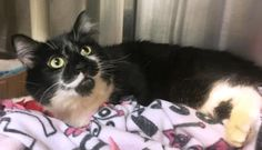 Mustachio is in foster care and available for adoption at Seattle Humane.  http://www.seattlehumane.org/adoption/cats