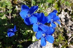 4-15 cm çapta kümeler oluşturan, çok yıllık otsu bir türdür. Yapraklar eşkenar dörtgen-yuvarlağımsı formda, ~1 cm uzunlukta, nadiren genişliğinin iki katı kadar uzun; taban yaprakları arasından çıkan gövde yapraksız veya 1 çift yapraklıdır. Çiçeklenme dönemi Temmuz ayı; çiçekler terminal ve tekil; çanak borusu 2-5 mm genişlikte, daralan uçlu, uçlar dişli; taç yapraklar 15-30 mm; loblar derin mavi renktedir. 2500-2800 m yüksekliklerde; alpin çayırlıklarda yetişirler. G.verna türü ile sıklıkla…