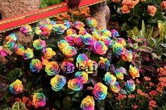 new chegada do arco-íris rose sementes coloridos sementes das pétalas da flor 100 sementes por envio package
