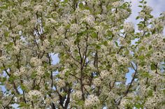Cleveland Pear    This medium size ornamental tree is replacing the beautiful Bradford pear, which self destructs after about 20 years.  It has a strong branching habit, attractive dark green foliage, beautiful bloom and great fall color.  Select planting sites that are sunny with moist, well drained soil.