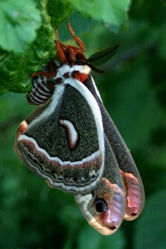 Cecropia Silkmoth - Hyalophora Cecropia © photo by walking-geema on Tumblr
