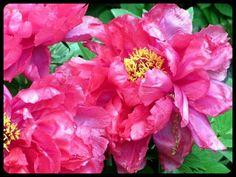 Peonies, no edits — #pink #peonies #flowers #nature #garden #beautiful #Random #blooms #streamzoo #noedits • LynnO on Streamzoo