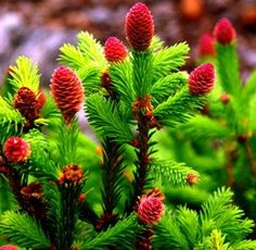 Picea abies ' Pusch ' A dwarf spreading evergreen conifer with green needles. Nice red cones fill the tips in the spring, then maturing to brown by summer. Prefers full sun in well-drained soil.