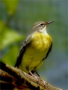 The grey wagtail (Motacilla cinerea) is a member of the wagtail family.