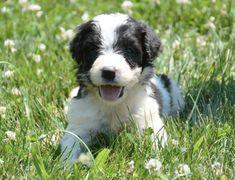 Crockett Doodles - Family Raised Doodle Puppies for Sale Doodle Dogs For Sale, Saint Bernard Poodle, Small Family Dogs, Puppies For Sale, Dogs And Puppies, Australian Puppies, Poodle Cross Breeds, St Berdoodle, Teddy Bear Dog