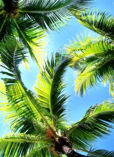 Palm Prettiness #palmtrees