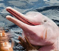 Dolphin-red, the pink dolphin - Boto-vermelho,. Pink Amazon River Dolphin, Pink Dolphin, Dolphin Facts, Amazing Animal Pictures, Beautiful Pictures, Creature Picture, Rainforest Animals, Amazon Rainforest, Whales