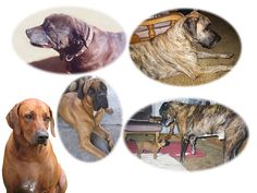 Portrait of my pets over the years, Jodi still to be completed, same artist over almost three decades.