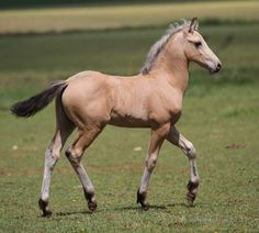 buckskin - Paint Horse x Friesian colt Cocktail du Vallon