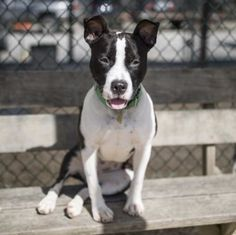 Novelty, OH - American Pit Bull Terrier. Meet Flo a Dog for Adoption.