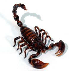 Google Image Result for http://images2.wikia.nocookie.net/__cb20120814171525/animalcrossing/images/1/13/Scorpion_1077-01.jpg