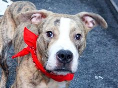 TO BE DESTROYED - 10/01/14 -Manhattan Center   FRITZ - A1015349   MALE, TAN / BL BRINDLE, PIT BULL MIX, 1 yr, 6 mos STRAY - STRAY WAIT, NO HOLD Reason STRAY  Intake condition UNSPECIFIE Intake Date 09/25/2014, From NY 10472, DueOut Date 09/28/2014,