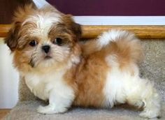 242 Best Cuties Images On Pinterest Baby Shih Tzu Shih Tzu Puppy