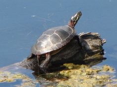 painted pond turtle - Google Search