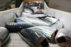 Mackerel hg frozen fish is a great quality of seafood that offer comfortable appearance and easy preparation before cooking. Frozen fish is not always less in quality compared with fresh fish, in fact with today's high technology;