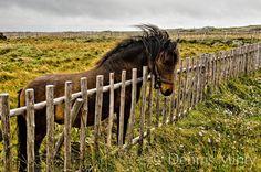 fogo island newfoundland canada   Newfoundland Pony, Tilting, Fogo Island, Newfoundland, Canada