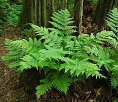 Shade plants: Athyrium felix-femina - Lady Fern - found in wet forest, swamps, streambanks Container Gardening Vegetables, Succulents In Containers, Container Plants, Vegetable Gardening, Container Flowers, Eucalyptus Ficifolia, Shade Garden, Garden Plants, Potted Plants