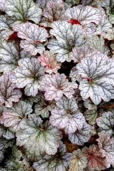 Hechera Rave On  Terra Nova variety developed for gardens and patios in the Southeast.  Thrives in Zones 4-9.