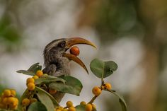 Swallow it whole! The Malabar Grey Hornbill  is endemic to the Western Ghats and associated hills of southern India. Photo by Ram Vaidyanathan‎