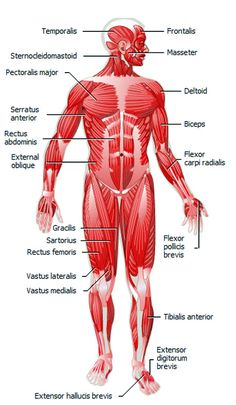 Muscular Anatomy:  Learn what muscles you use when you exercise!