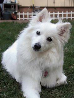 Chloe 10mo old American Eskimo Mini