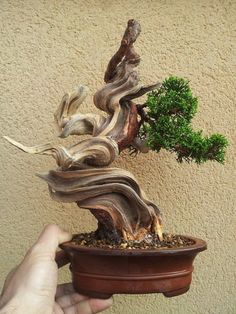 pinterest bonsai - Yahoo Image Search Results