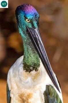 https://www.facebook.com/WonderBirdSpecies/ Black-necked stork (Ephippiorhynchus asiaticus); Indian Subcontinent, Southeast Asia and a disjunct population in Australia; IUCN Red List of Threatened Species 3.1 : Near Threatened (NT)(Loài sắp bị đe dọa) || Hạc cổ đen/Già đẫy cổ đen; Tiểu lục địa Ấn Độ, Đông Nam Á, ngoài ra có một quần thể tách rời ở Australia; HỌ HẠC - CICONIIDAE (Storks)