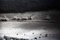 black_white1211200 Tatry 50  krowy na hali pod Kopieńcem