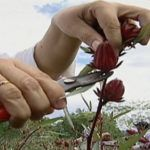 Como-plantar-hibisco Soup, Plants, Homemade Bronzer, Backyard Patio, Eggshell, Natural Health, Benefits Of, Hibiscus, Health And Wellness