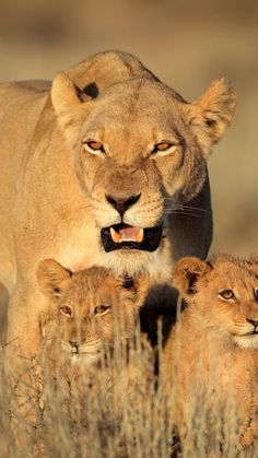 lion, female, lion cubs, family, africa, predators