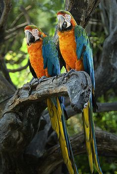 2 beautiful Macaws :) I love how they are always in pairs.
