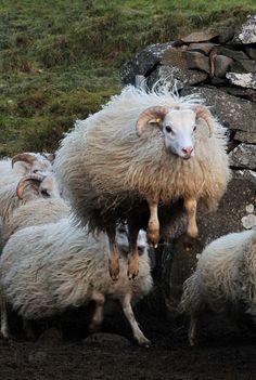 Leaping Icelandic Sheep, Iceland