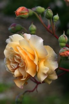 A yellow beauty GOOD MORNING fellow rose lovers