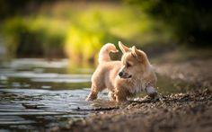Lataa kuva river, welsh corgi, söpöjä eläimiä, pentu, hauskoja eläimiä, koirat, Pembroke Welsh Corgi