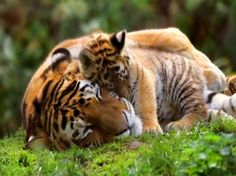 Century Tiger & ALTA have joined forces to safeguard wild cats across Asia, focusing our conservation efforts on wild tigers and Amur leopards Big Tiger, Save The Tiger, Tiger Love, Tiger Cubs, Baby Tigers, Otter, Beautiful Cats, Animals Beautiful, Baby Animals