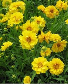 Coreopsis grandiflora 'Sunray' perennials for hot and dry locations