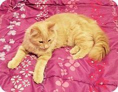 North Kansas City, MO - Ragdoll. Meet Mufasa  --  Pending, a cat for adoption. http://www.adoptapet.com/pet/12034249-north-kansas-city-missouri-cat