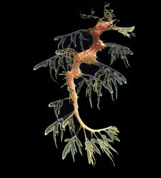 Leafy Seadragon (Phycodurus eques)  The sea dragon has evolved skin filaments that hang off its head, fins and tail, allowing for it to blend perfectly into the kelp forests in which it inhabits.