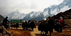 Everest Region. Yaks