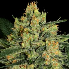 Stout and bushy, Durga Mata 2 CBD, This strain has been bred especially for medical patients. This beauty will bring relaxation, pain relief, and a sense of well being🙏 . Cannabis, Organic Seeds, Durga, Paradise, Medical, Plants, Pain Relief, Beauty, Collection