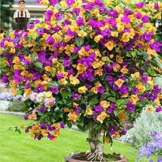 Get a mixed bougainvillea! 20 pcs/bag bougainvillea seeds, Bougainvillea Spectabilis Willd Seeds, beautiful flower seeds bonsai pot plant for home garden Beautiful Gardens, Beautiful Flowers, Simply Beautiful, Bougainvillea Tree, Bamboo Seeds, Tree Seeds, Hardy Plants, Colorful Garden, Flowering Trees