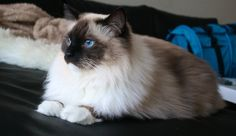 Ragdoll cat Ragstar's Felix (csr91 instagram)