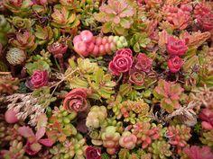 green roof sedum | Sedum, Green Roof | Flickr - Photo Sharing!
