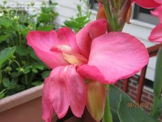 Full size picture of Canna Lily 'Tropical Rose' (<i>Canna x generalis</i>)