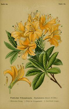 flowers-32065 - rhododendron flavum [2220x3494] -