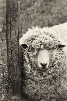 Sheep photo, black and white photography, monochromatic art, animal photography - nature print wall art - woolly sheep at rest - 8x12. $30.00, via Etsy.