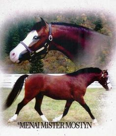 "Imported 12H Section A Welsh Stallion --- Menai Mister Mostyn (""Spencer"") was the 2001 and 2002 WPCSA National Champion. In 2002 he earned multiple Grand Championships, Supreme Championships and was undefeated in the Junior Colt Division. http://www.myhorseforsale.com/welsh-pony-stallion-at-stud/menai-mister-mostyn-2/"