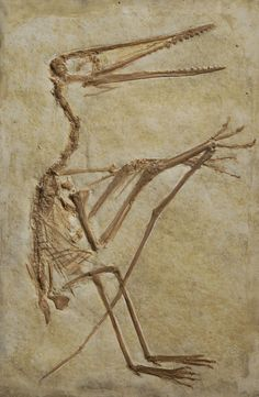 Archaeopteryx © collections de géologie, UCBL Fossil